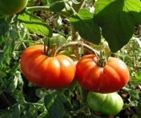 Marmande tomaat